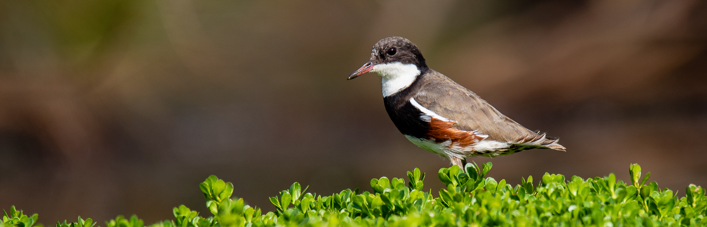 Red-kneed Dotterel (Image ID 32158)