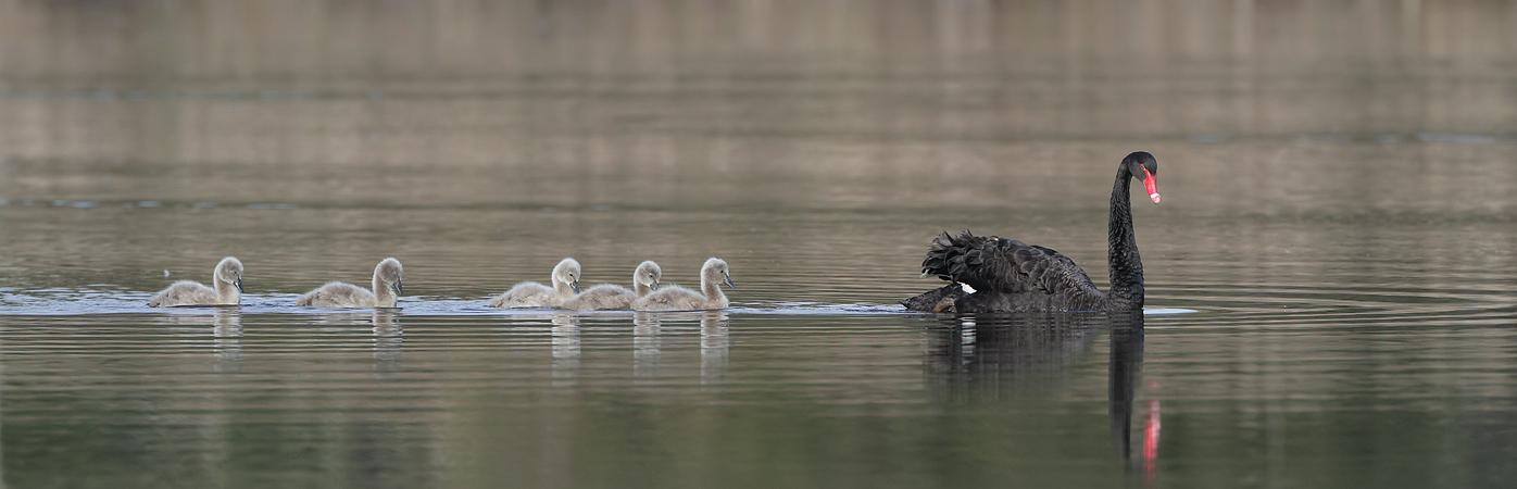 Black Swan (Image ID 32510)