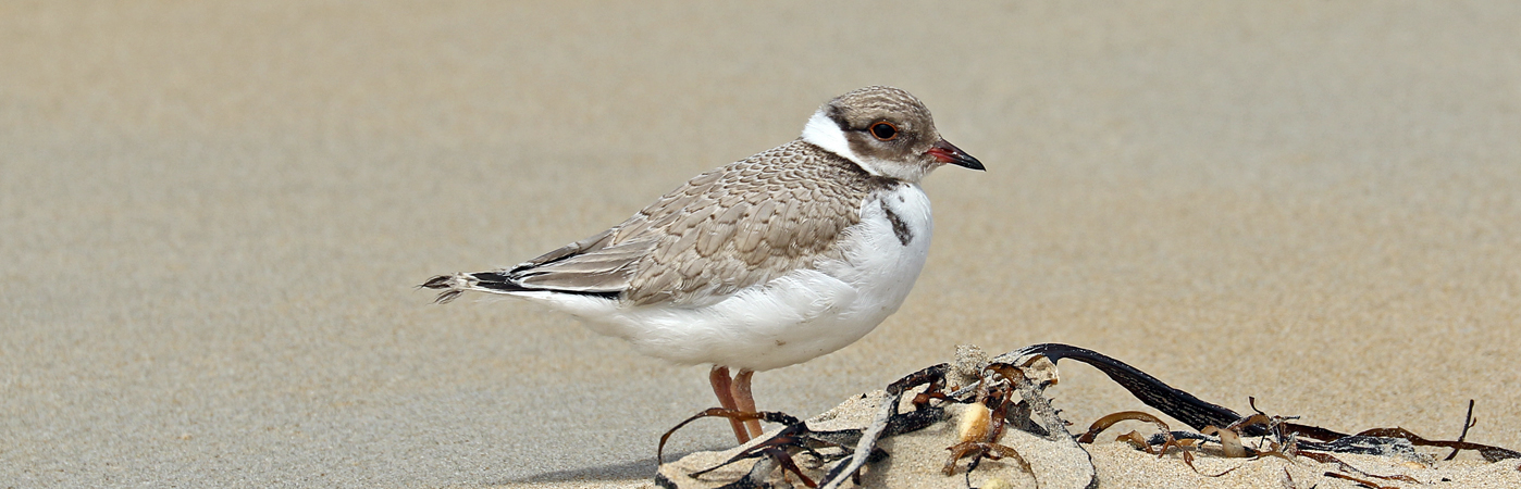 Hooded Plover (Image ID 32807)