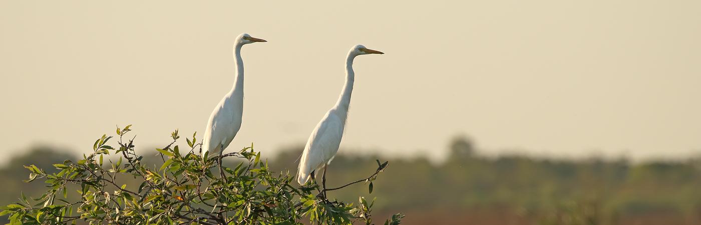 Plumed Egret (Image ID 32688)