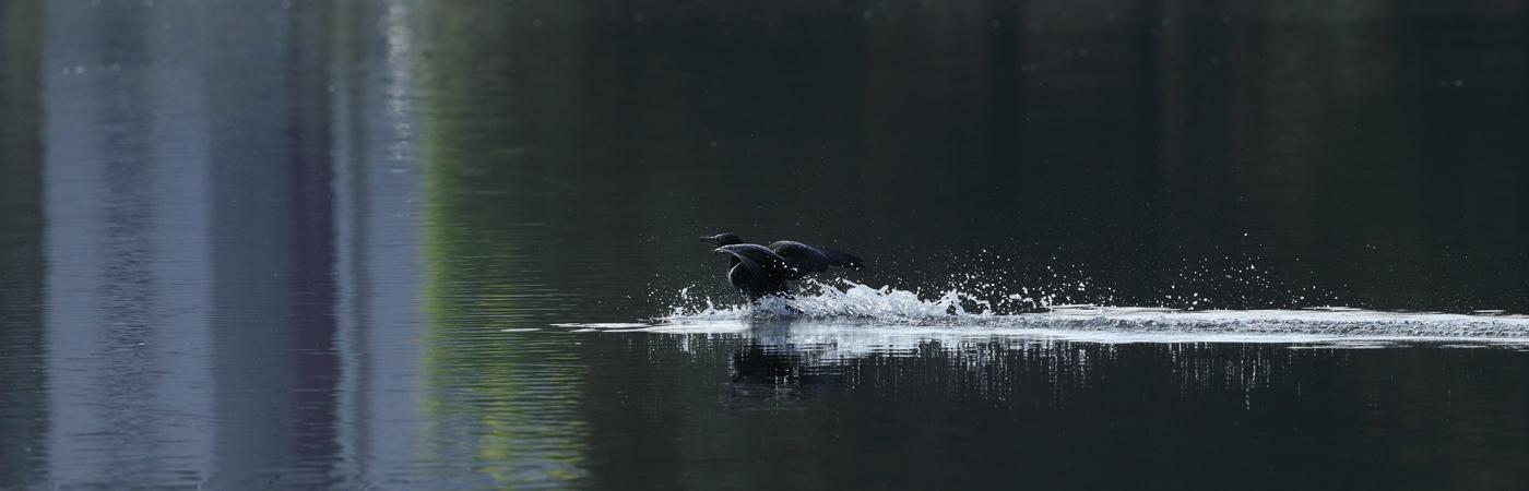 Little Black Cormorant (Image ID 33685)