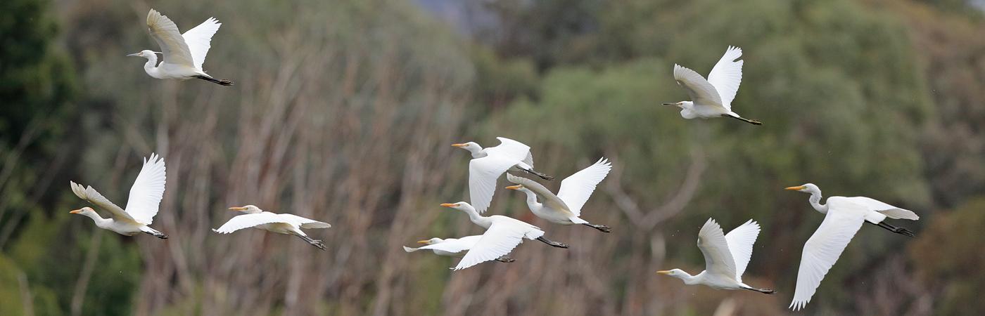 Cattle Egret,Little Egret,Plumed Egret (Image ID 33760)