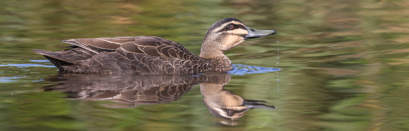 Pacific Black Duck (Image ID 34652)