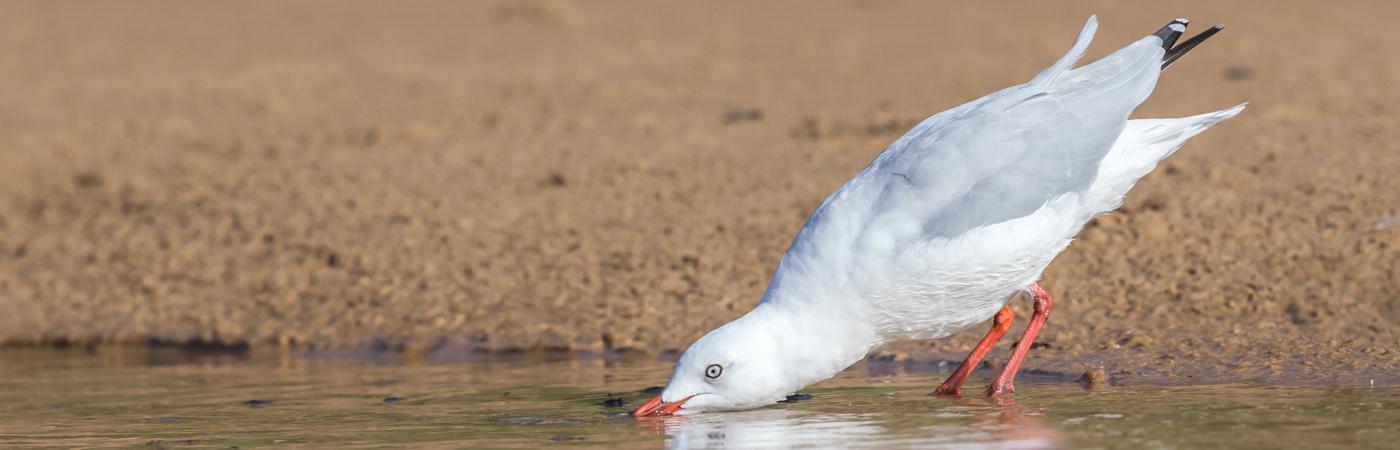 Silver Gull (Image ID 34677)