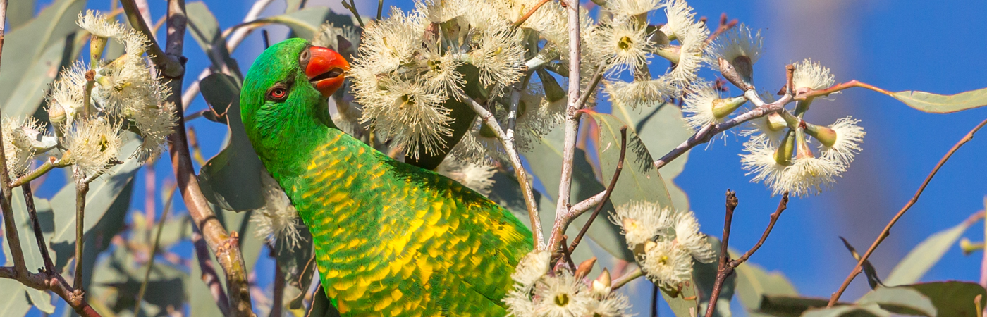 Scaly-breasted Lorikeet (Image ID 34838)