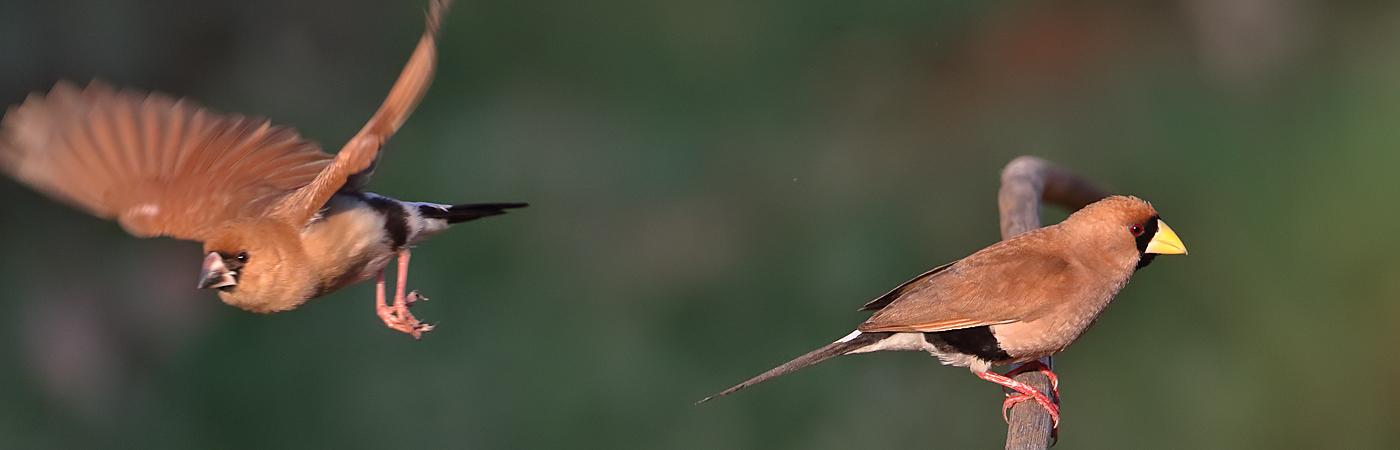 Masked Finch (Image ID 35597)