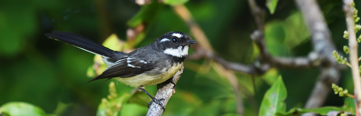 Grey Fantail (Image ID 35833)