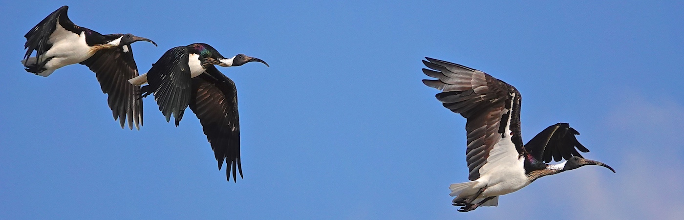 Straw-necked Ibis (Image ID 36102)