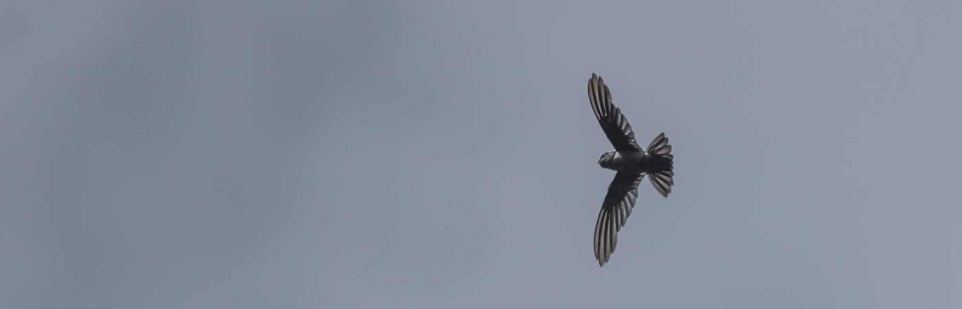 Australian Swiftlet (Image ID 36032)