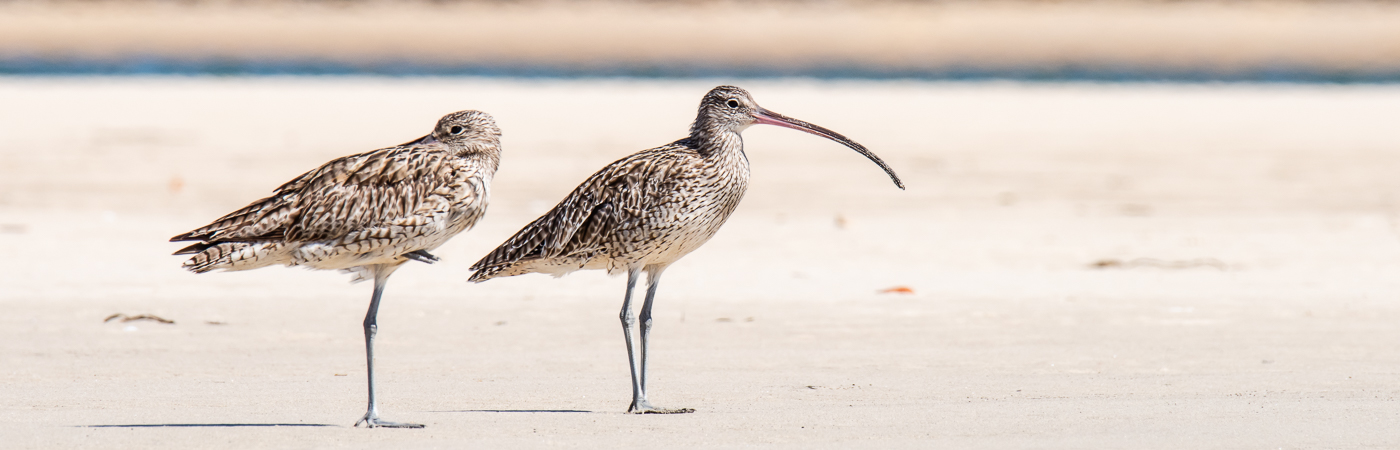 Eurasian Curlew (Image ID 36626)