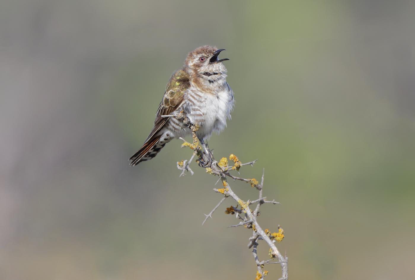 Horsfield's Bronze-Cuckoo (Image ID 36804)