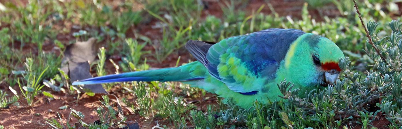 Australian Ringneck (Image ID 37363)