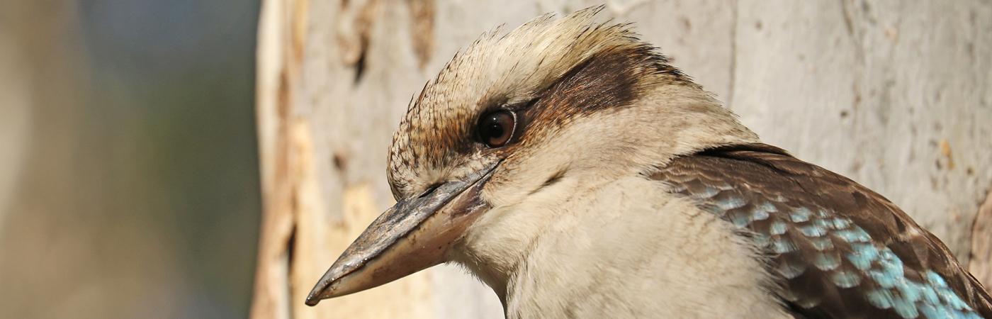 Laughing Kookaburra (Image ID 37445)