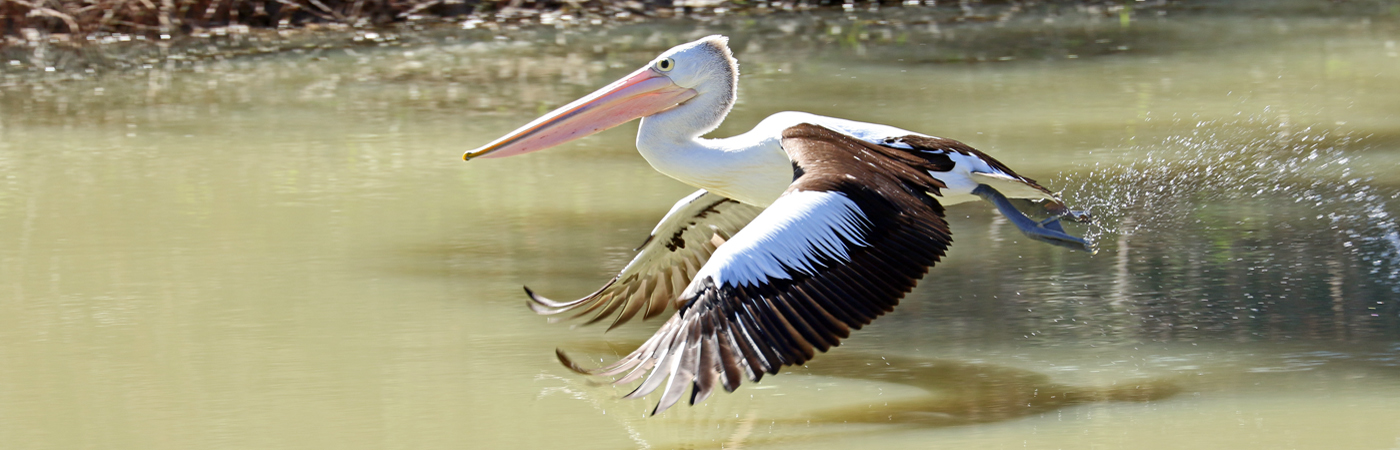 Australian Pelican (Image ID 37458)