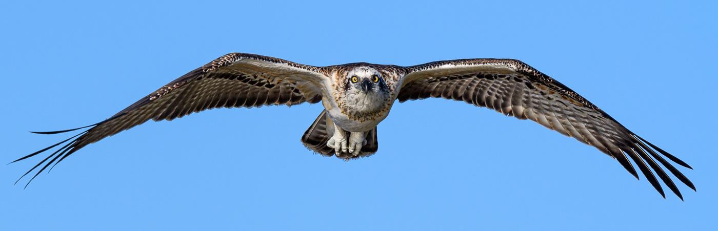 Osprey (Image ID 38462)