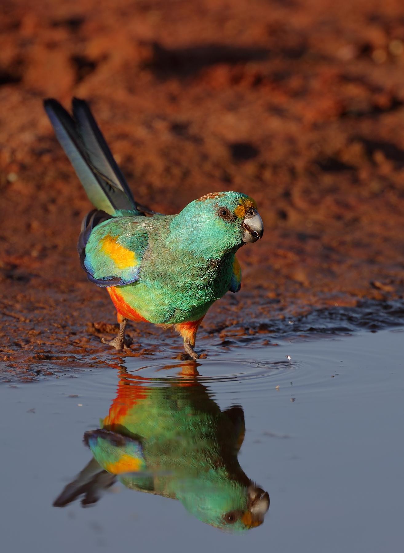 Mulga Parrot (Image ID 38451)