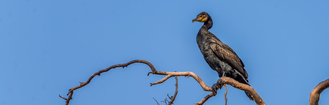 Great Cormorant (Image ID 38601)