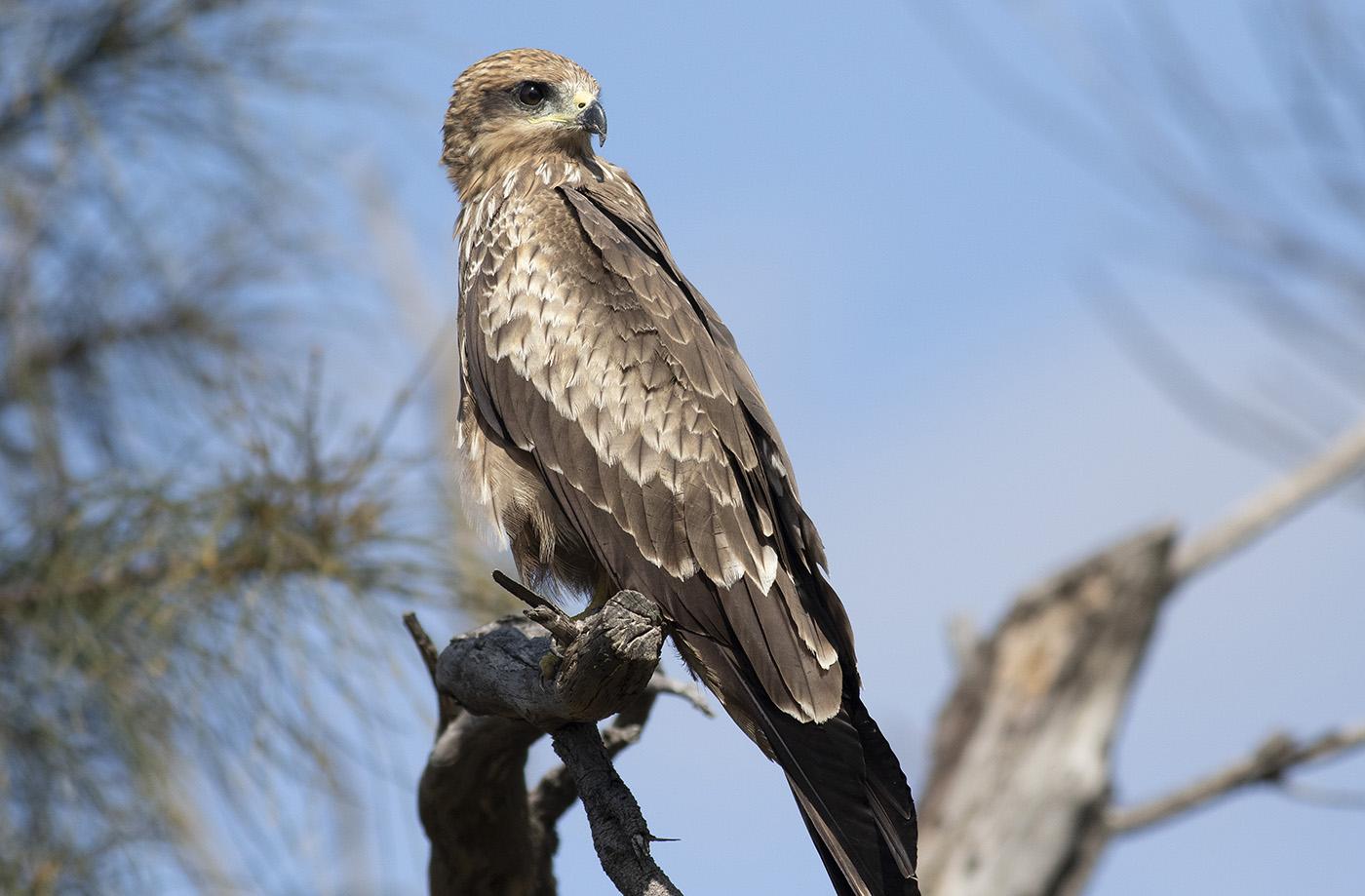 Black Kite (Image ID 39078)