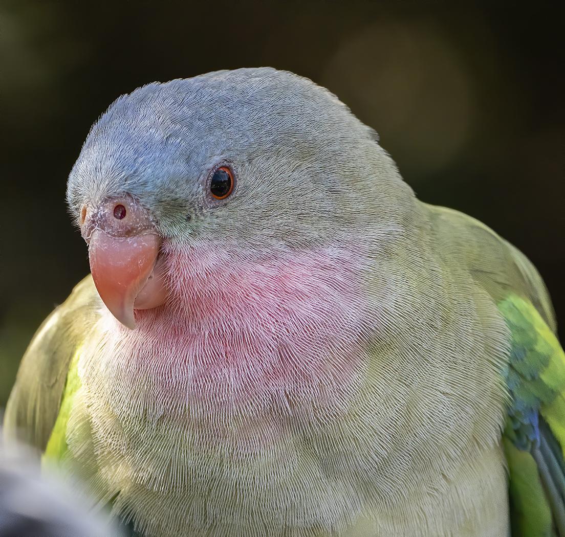 Princess Parrot (Image ID 38621)