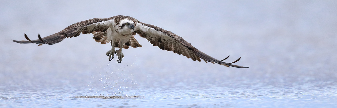 Osprey (Image ID 39342)