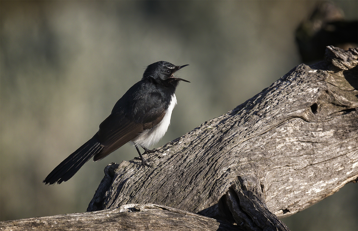 Willie Wagtail (Image ID 38676)