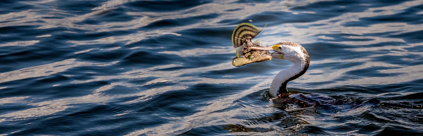 Great Pied Cormorant (Image ID 39347)