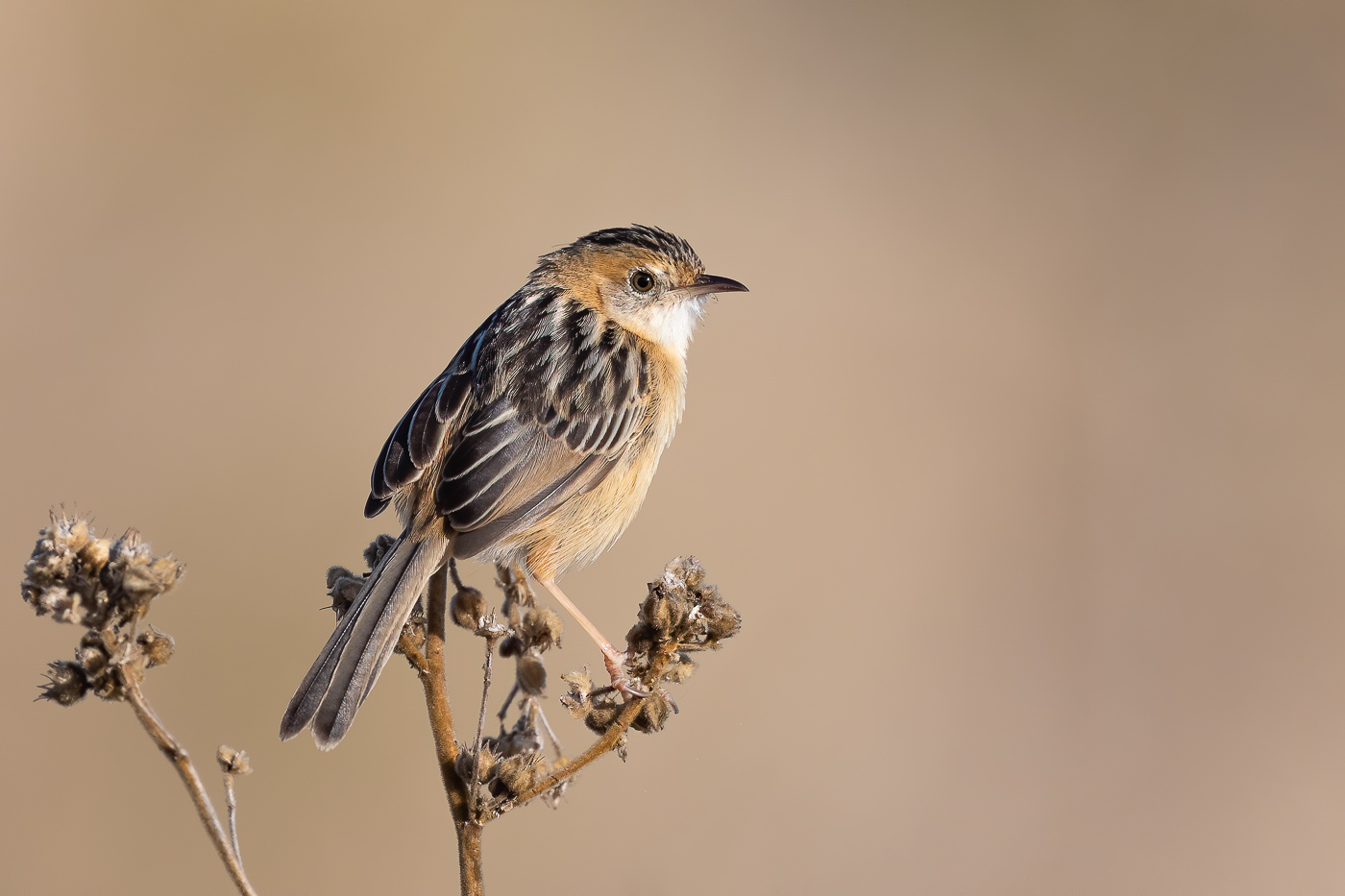 Golden-headed Cisticola (Image ID 38739)