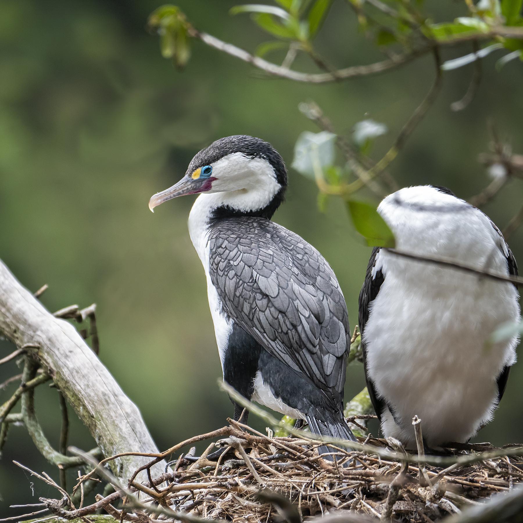 Great Pied Cormorant (Image ID 39747)