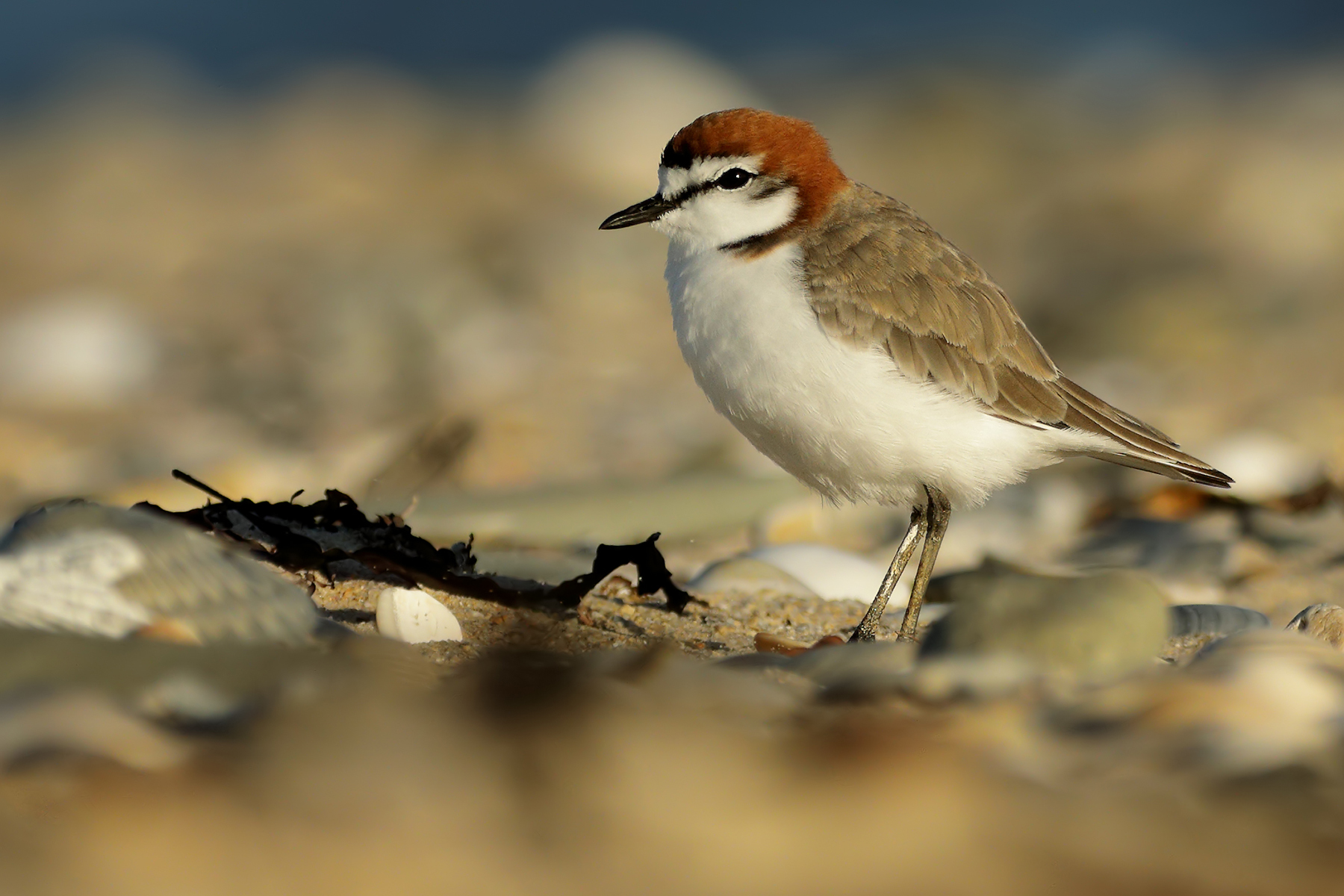 Red-capped Plover (Image ID 39671)