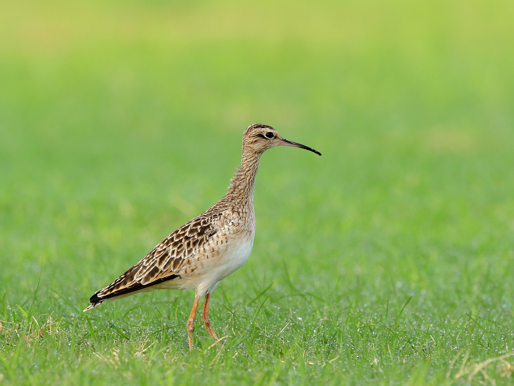 Little Curlew (Image ID 39580)
