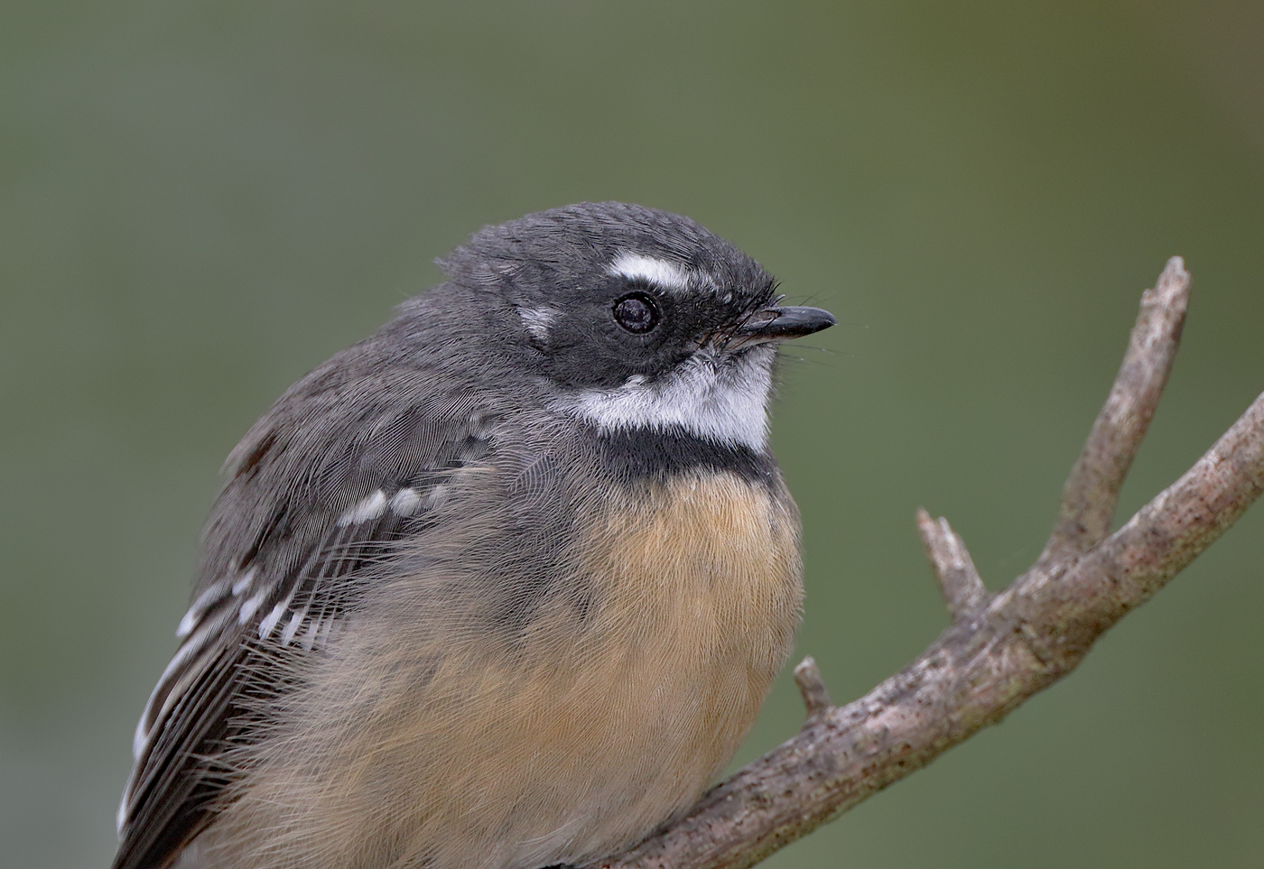 Grey Fantail (Image ID 39453)