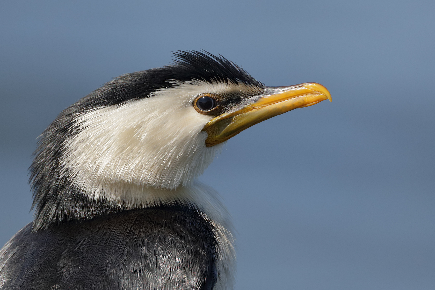 Little Pied Cormorant (Image ID 39447)