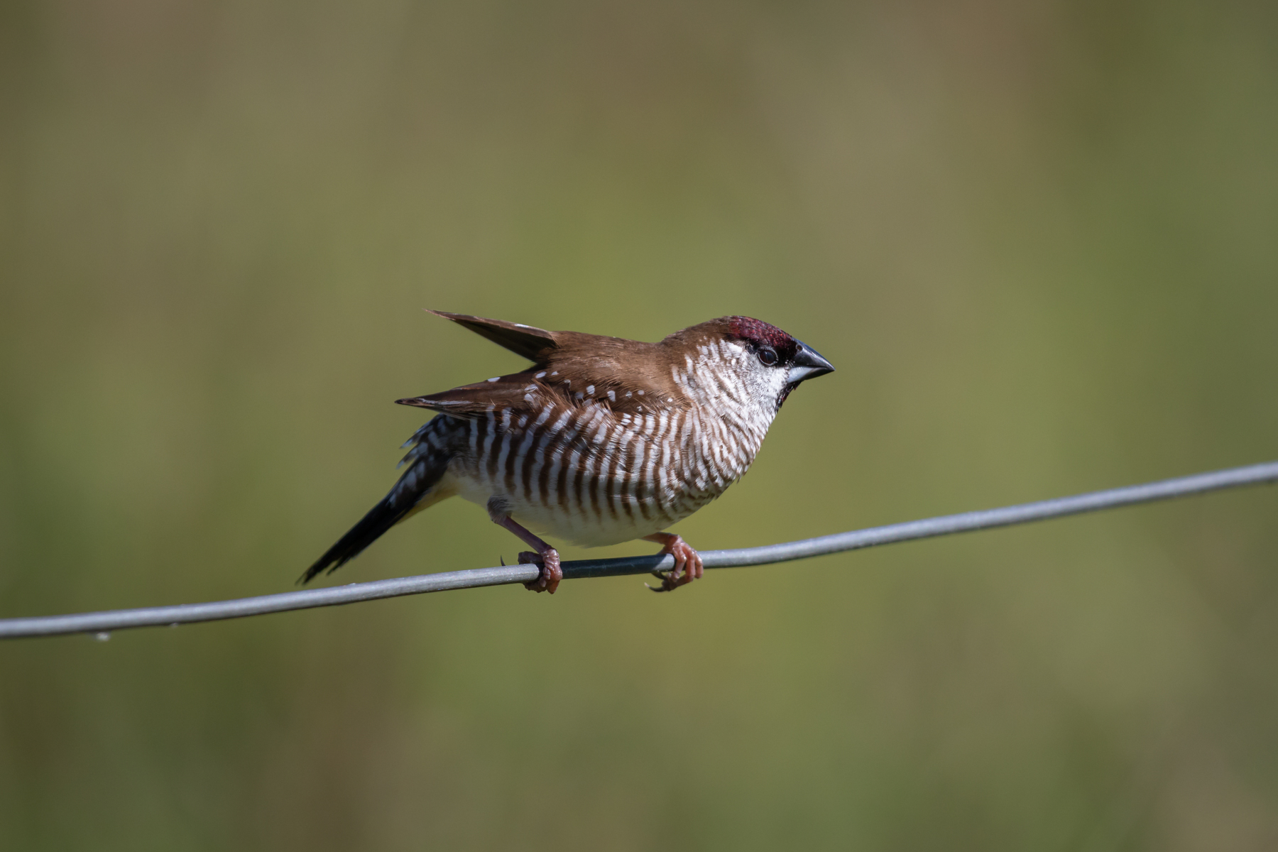 Plum-headed Finch (Image ID 39707)
