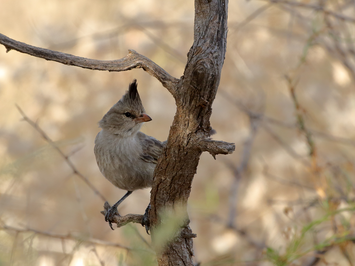 Chiming Wedgebill (Image ID 39741)