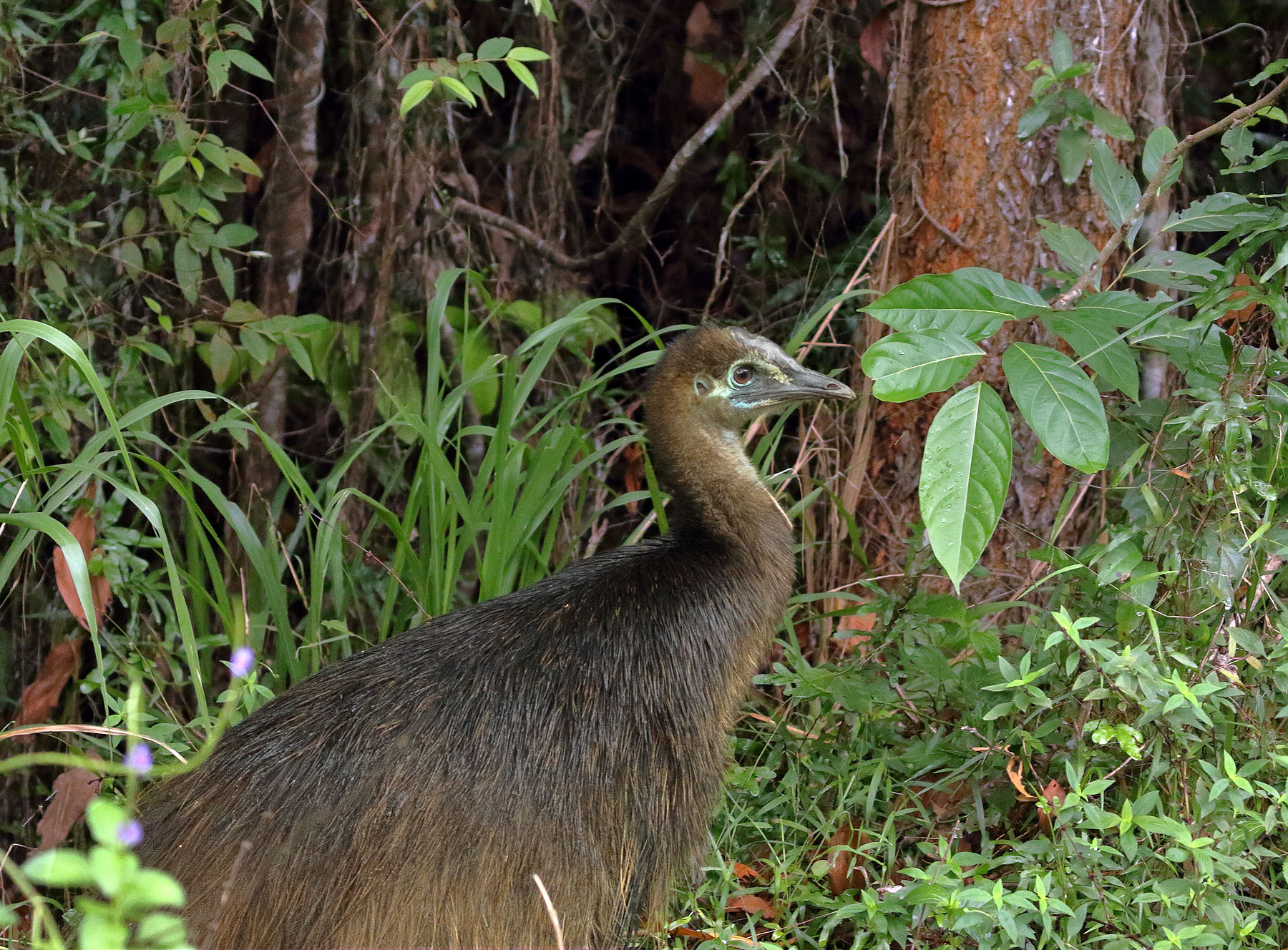 Southern Cassowary (Image ID 39717)