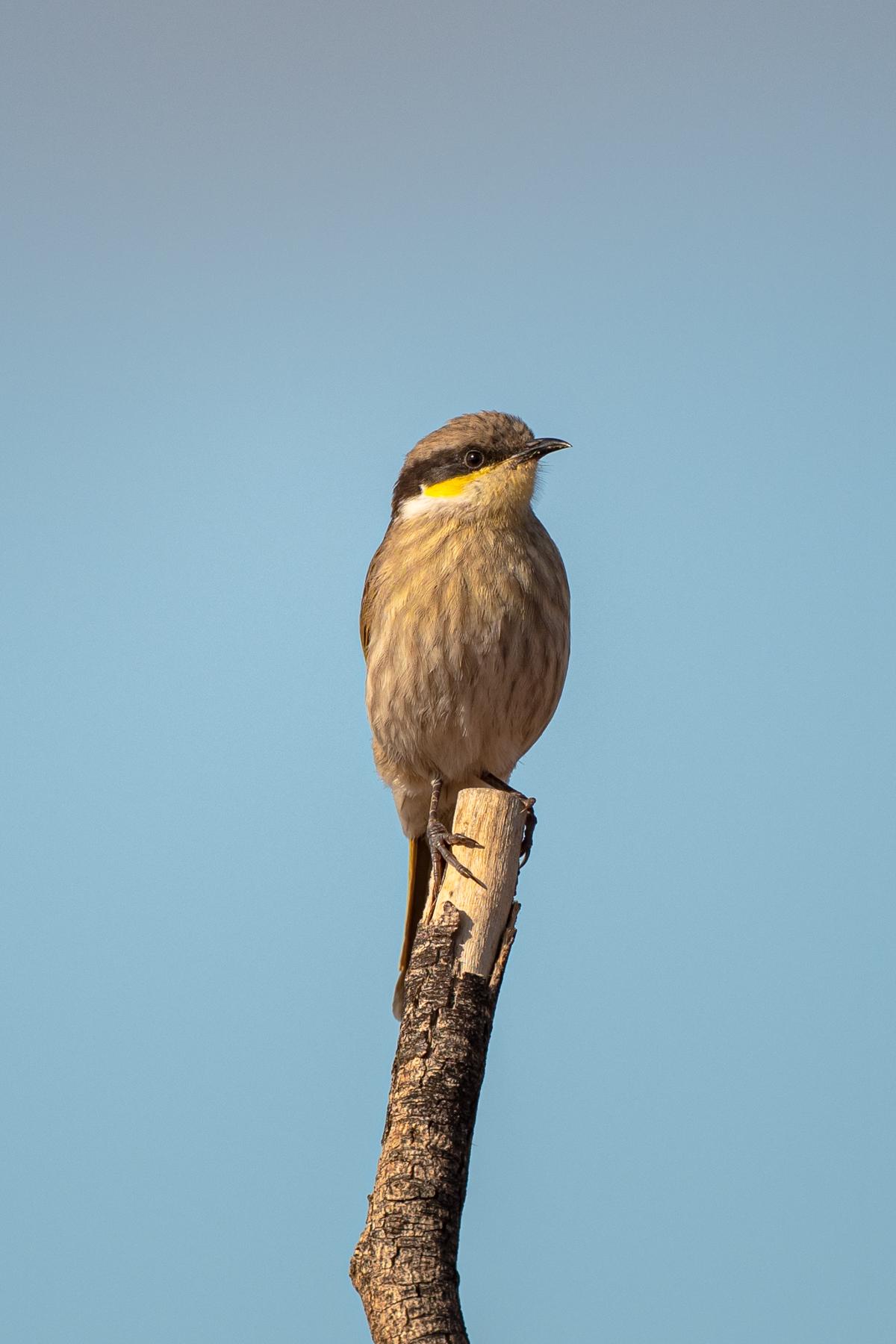 Singing Honeyeater (Image ID 39666)