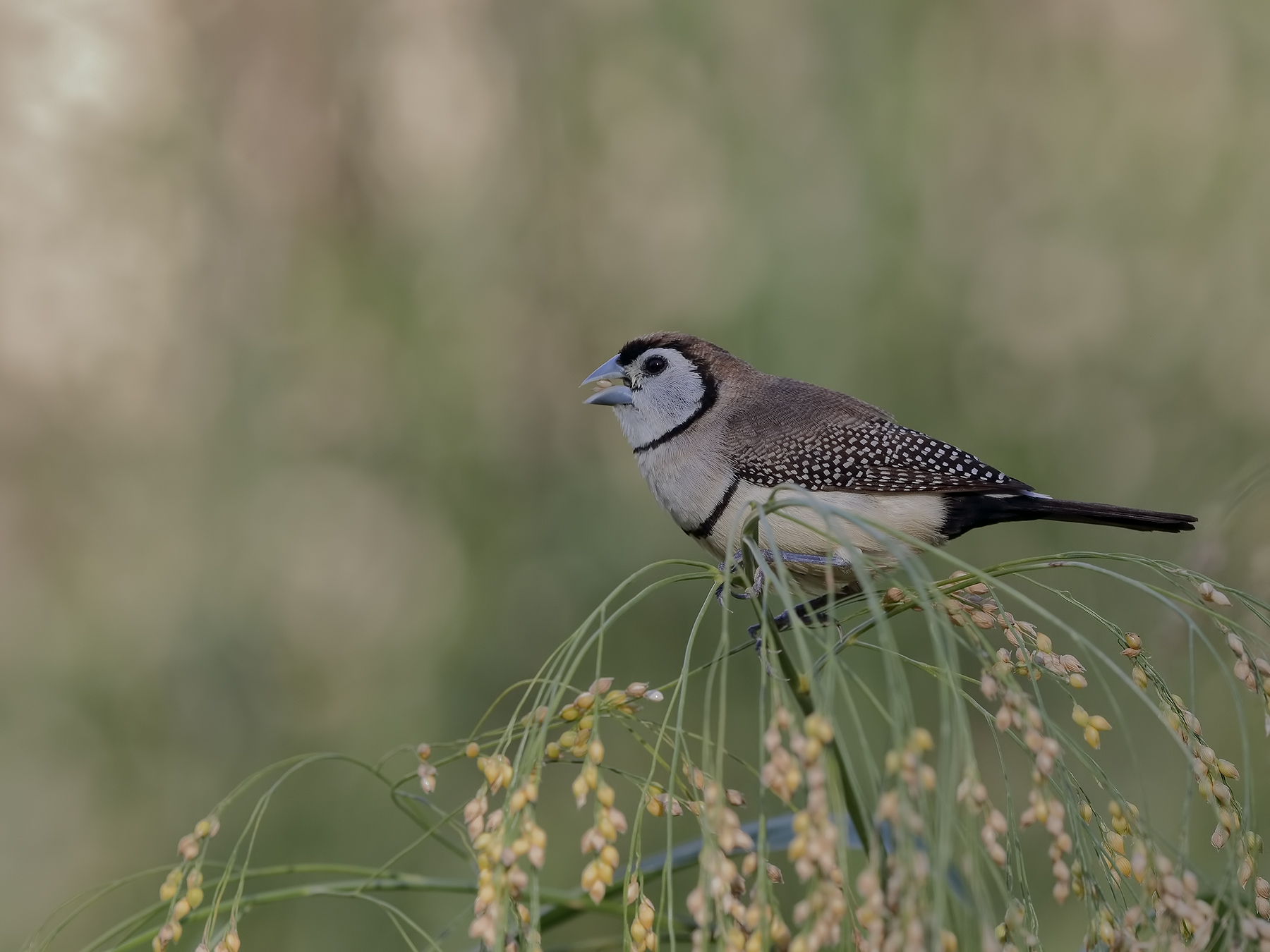 Double-barred Finch (Image ID 39796)