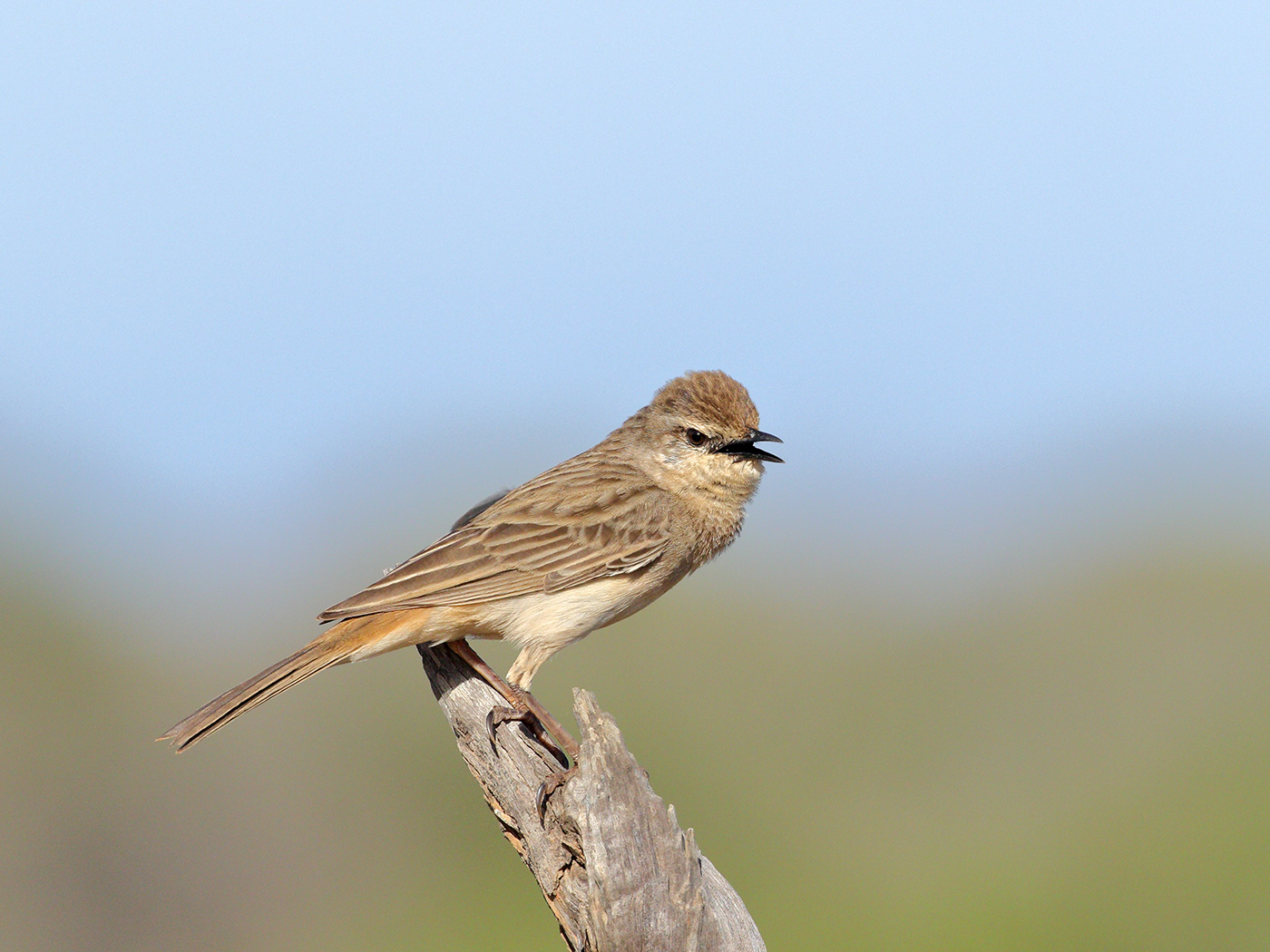 Rufous Songlark (Image ID 39799)