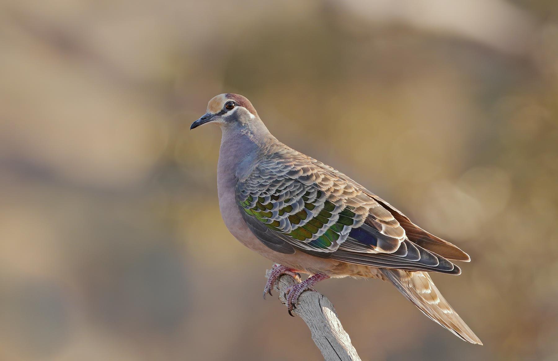 Common Bronzewing (Image ID 39689)