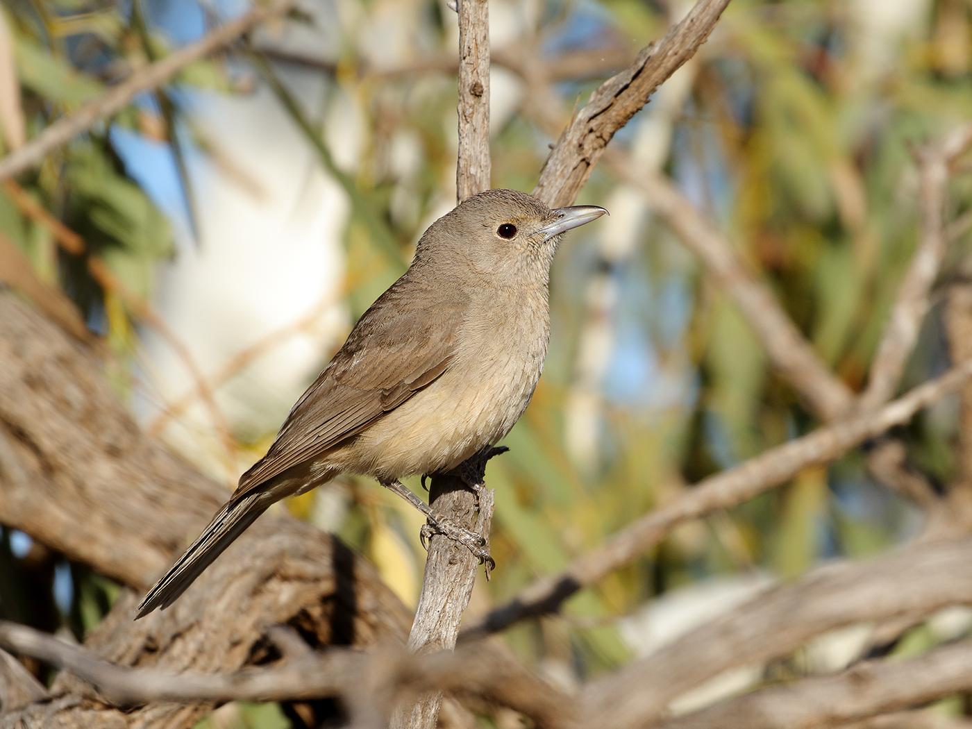 Grey Shrike-thrush (Image ID 39583)