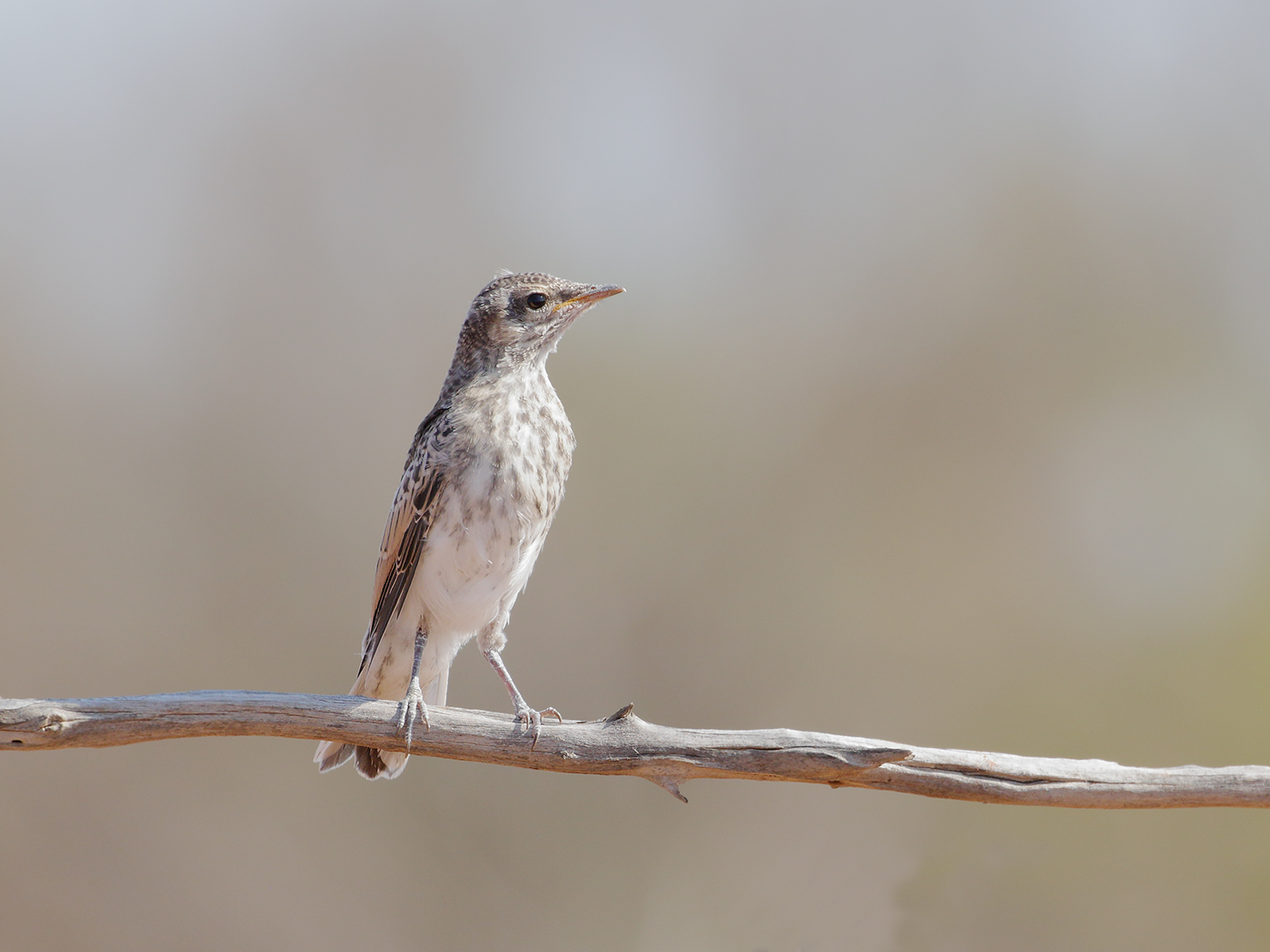 White-winged Triller (Image ID 39675)