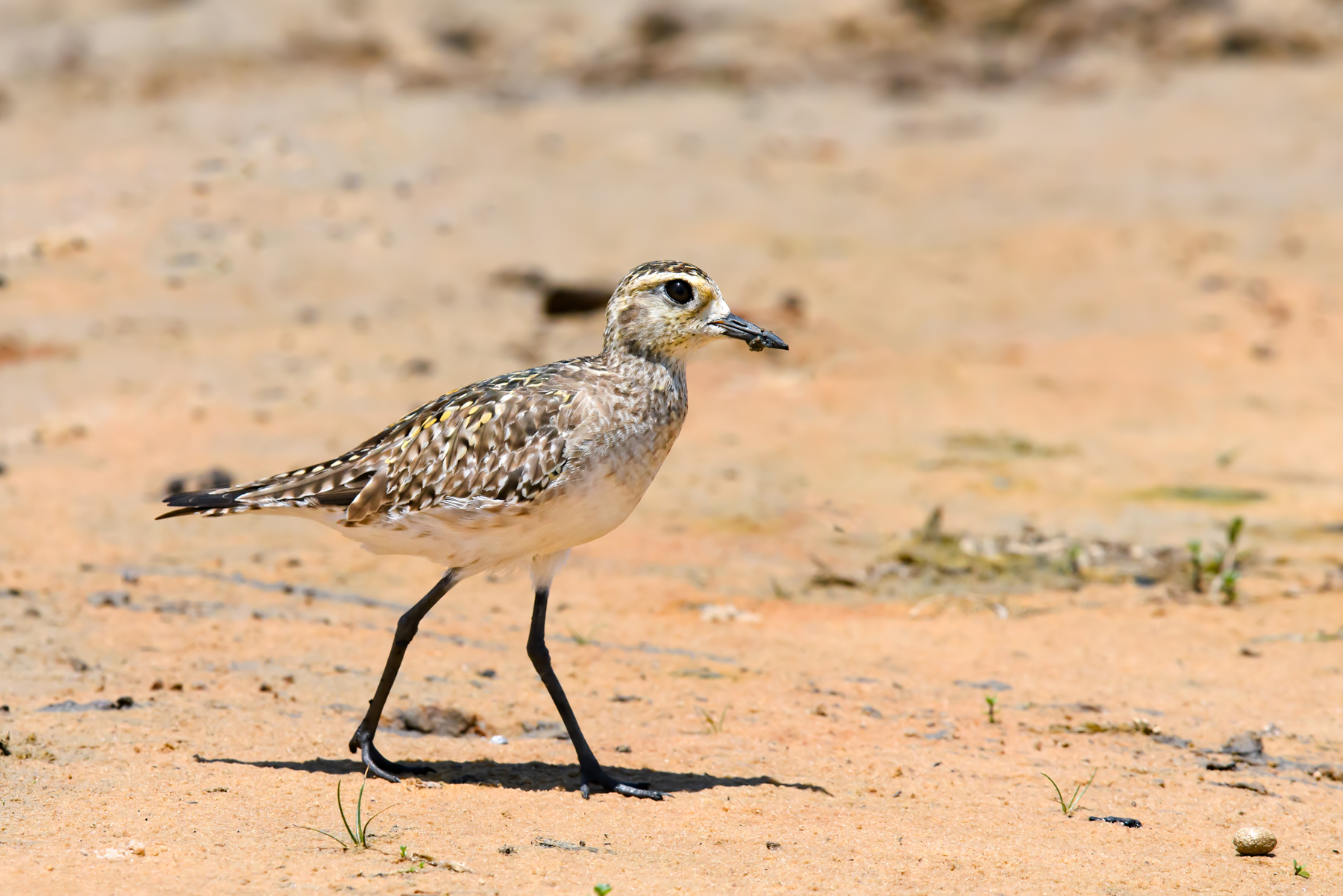 Pacific Golden Plover (Image ID 39861)