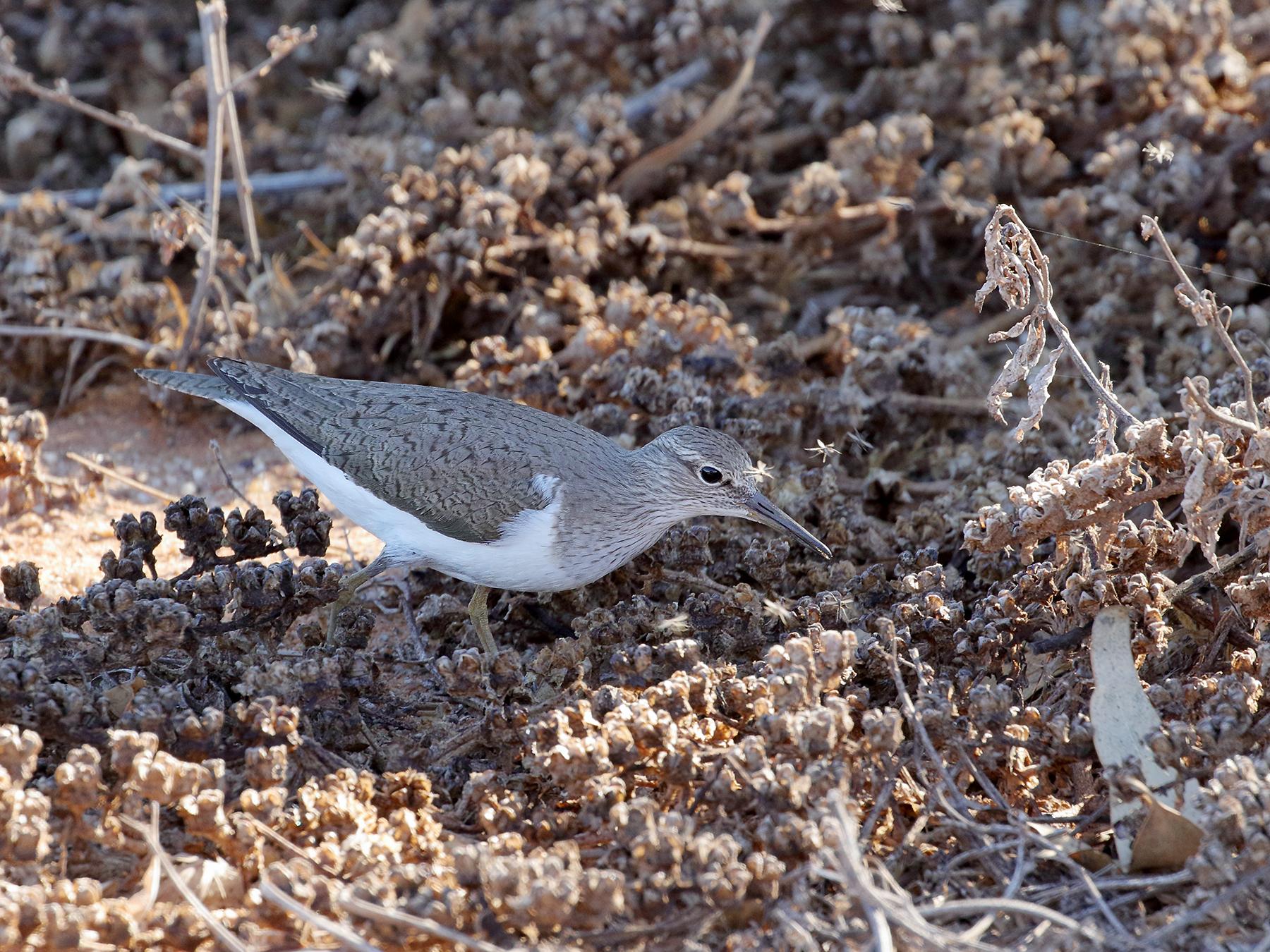 Common Sandpiper (Image ID 40130)