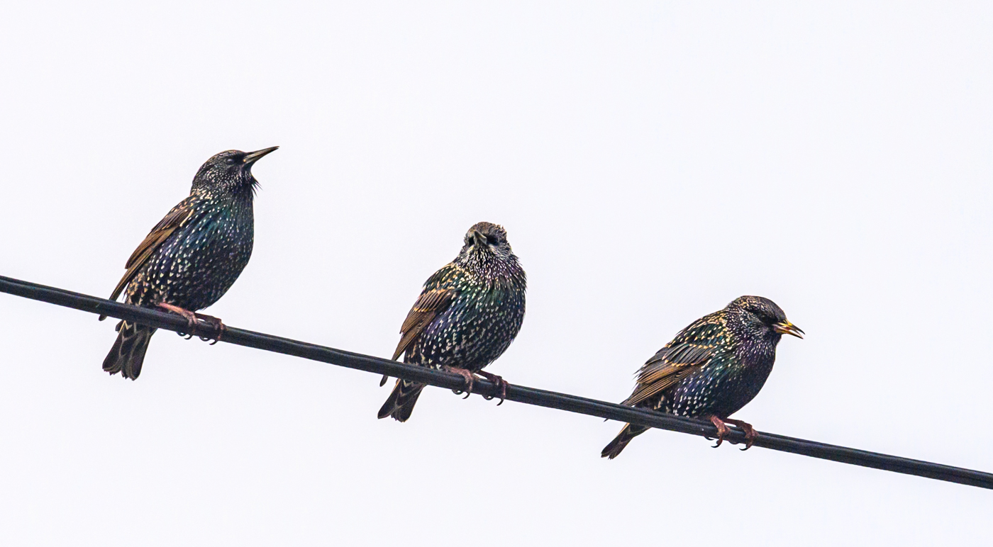 Common Starling (Image ID 40094)