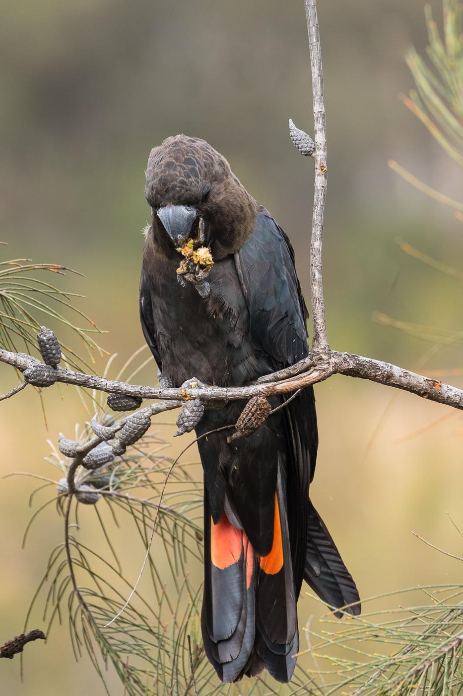 Glossy Black-Cockatoo (Image ID 39989)