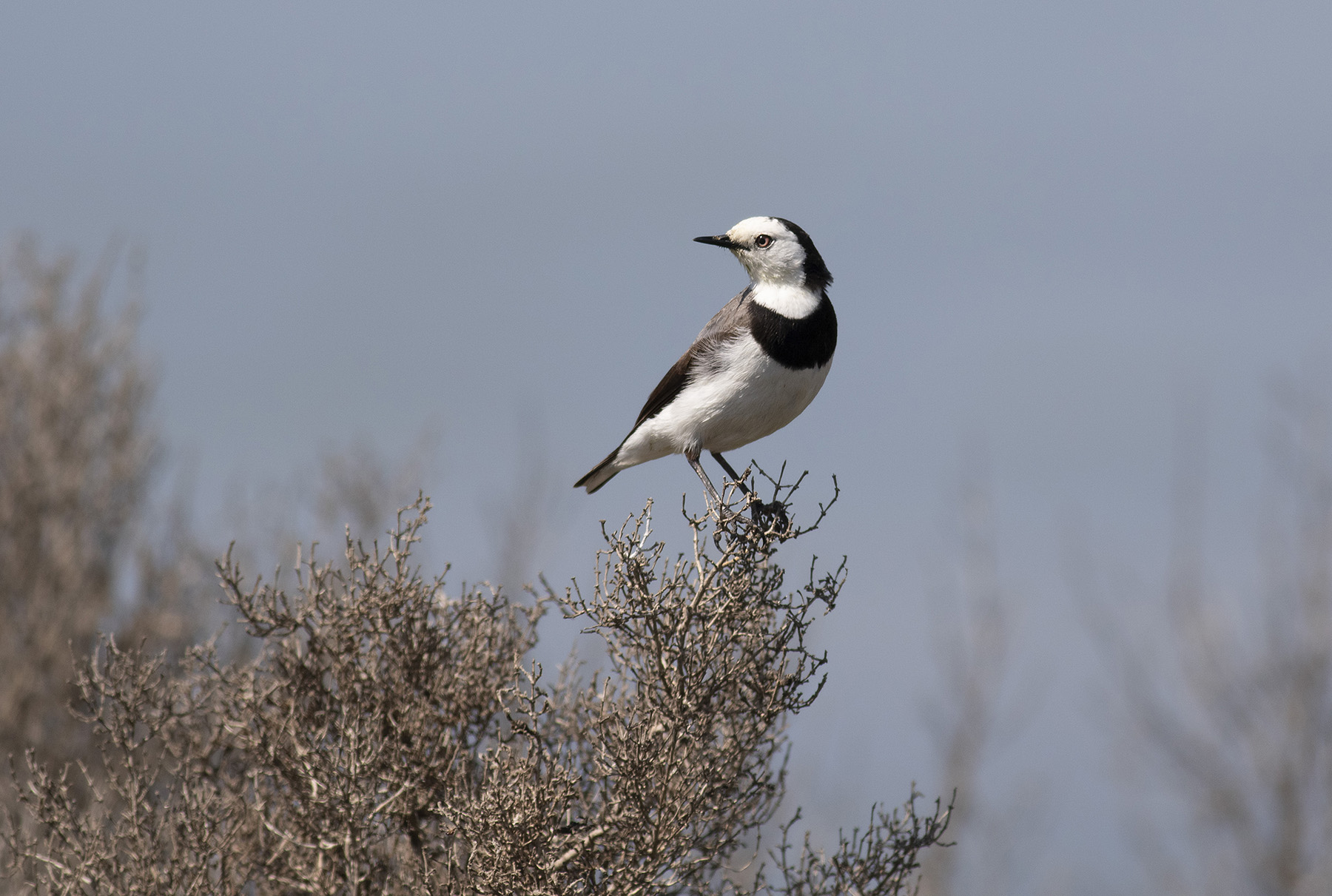 White-fronted Chat (Image ID 40233)