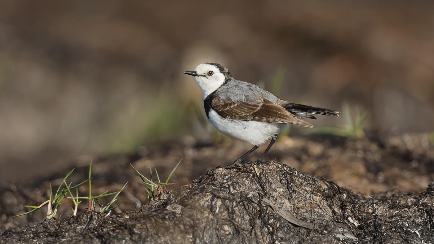 White-fronted Chat (Image ID 40250)