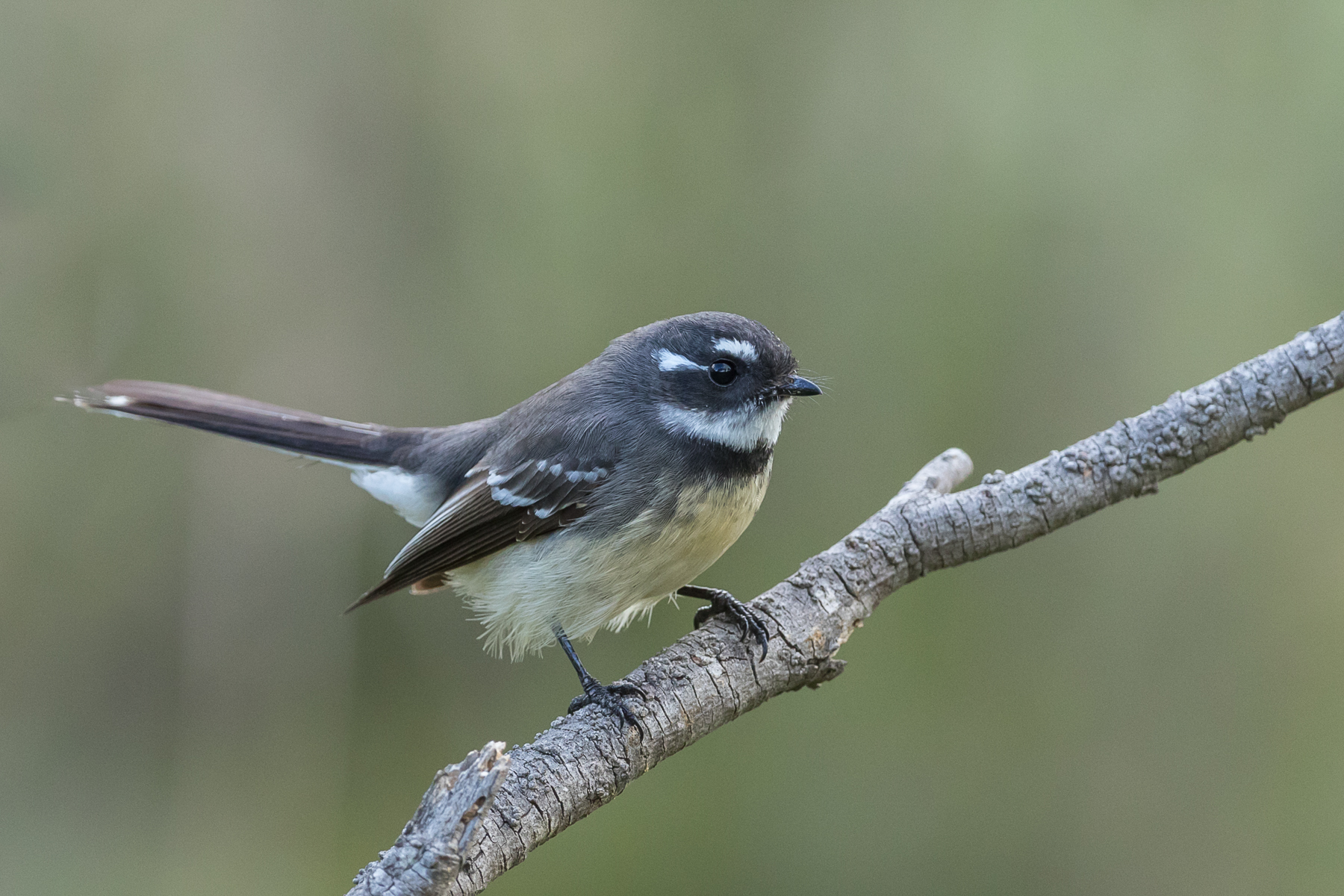 Grey Fantail (Image ID 39950)