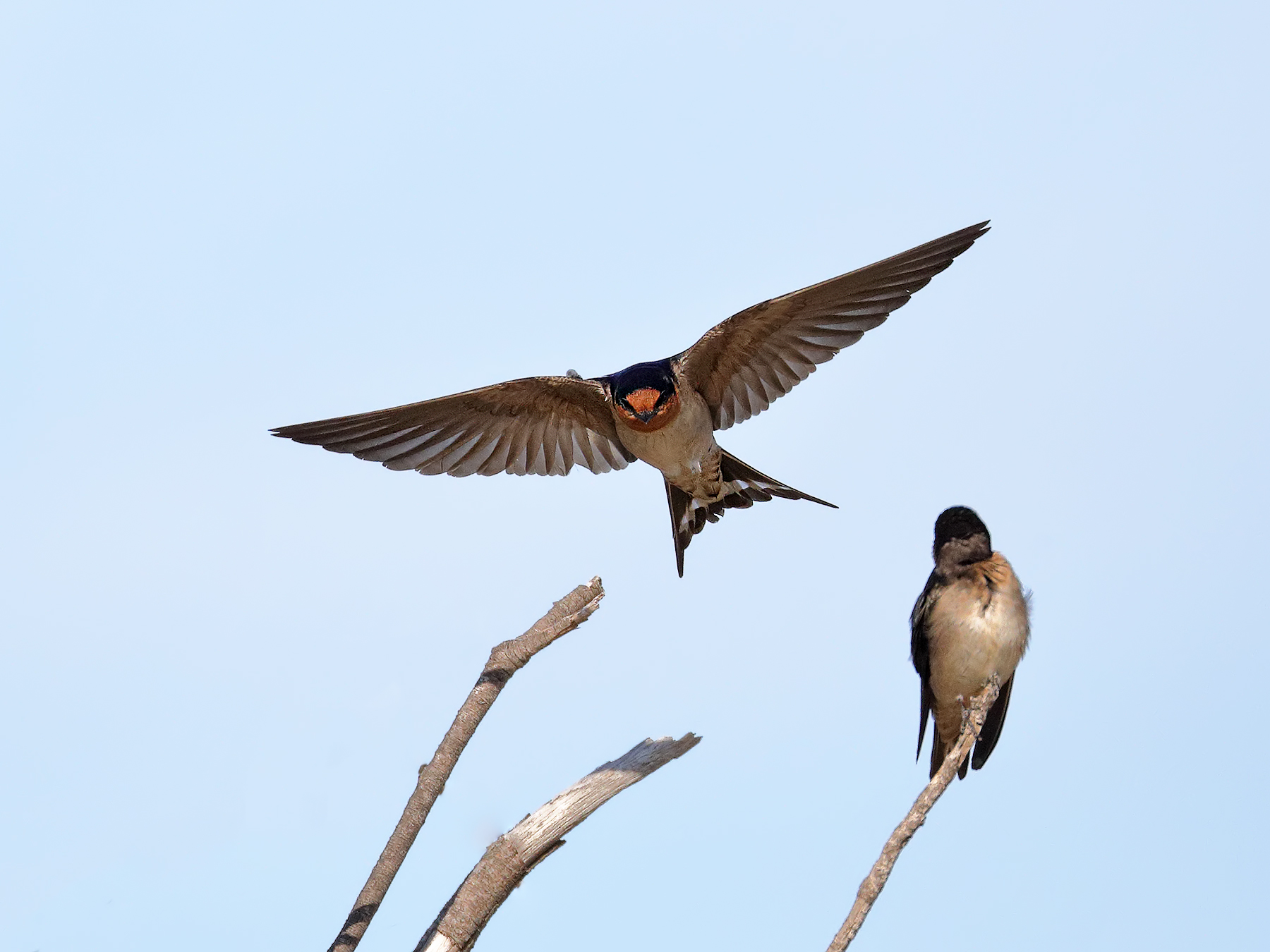 Welcome Swallow (Image ID 39870)