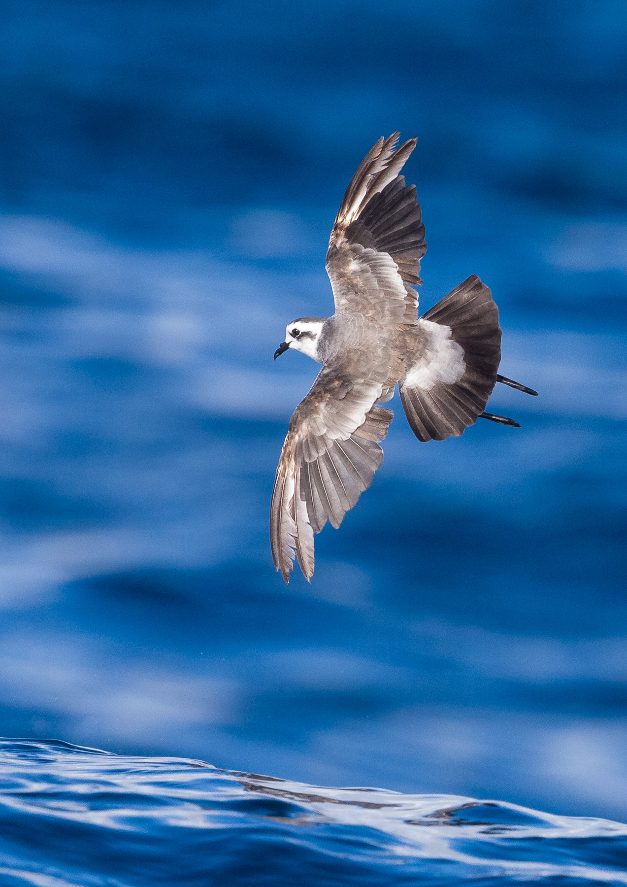 White-faced Storm-Petrel (Image ID 39826)